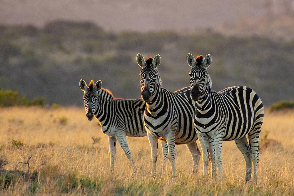 Mundo Salvaje - Cebras posan a la camara en un bello atardecer