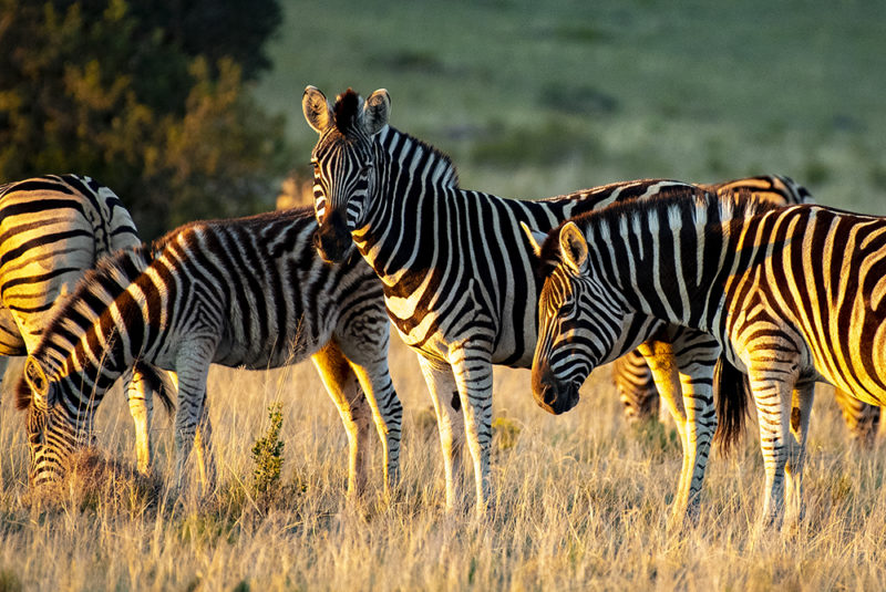 Mundo Salvaje - Grupo de cebras iluminadas al atardecer