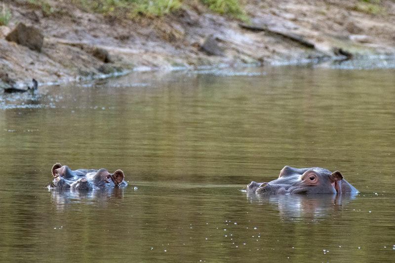 Mundo Salvaje - Hipopótamos nadando