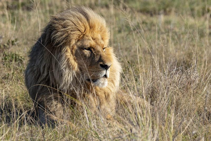 Mundo Salvaje - León esperando a que la leona se levante a cazar