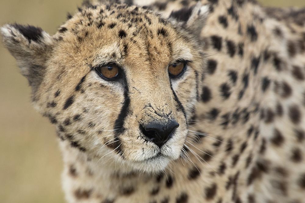 Mundo Salvaje - Leopardo curioso