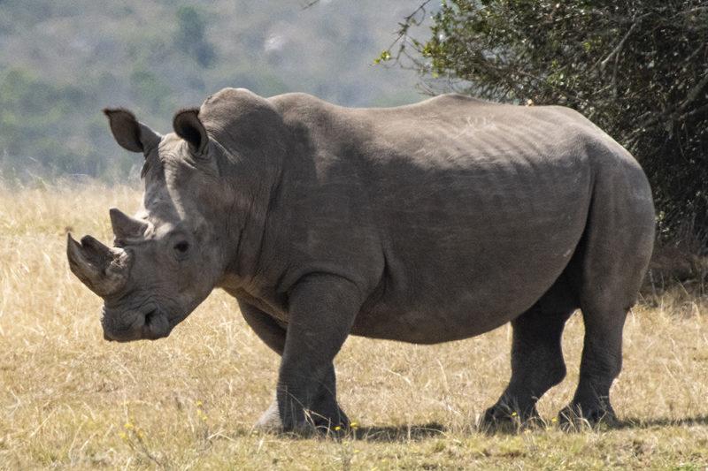 Mundo Salvaje - Rinoceronte