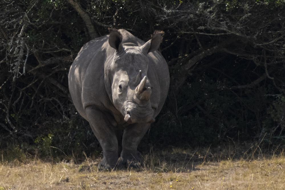 Mundo Salvaje - Rinoceronte de frente