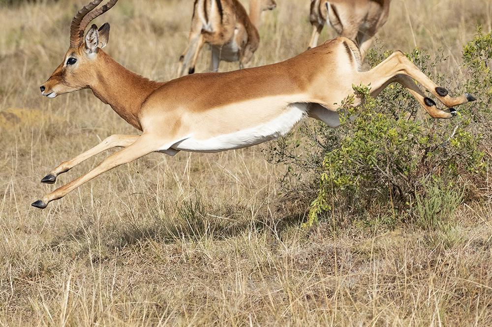 Mundo Salvaje - gacela saltando