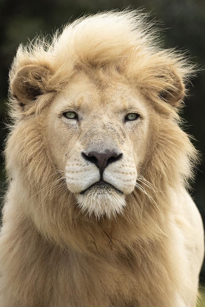 Mundo Salvaje - la majestuosidad del león