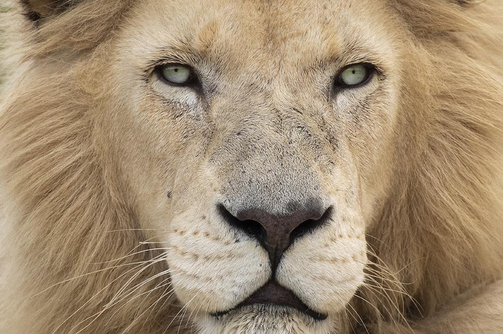 Mundo Salvaje - león con mirada penetradora
