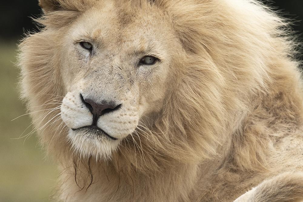 Mundo Salvaje - león posa de perfil
