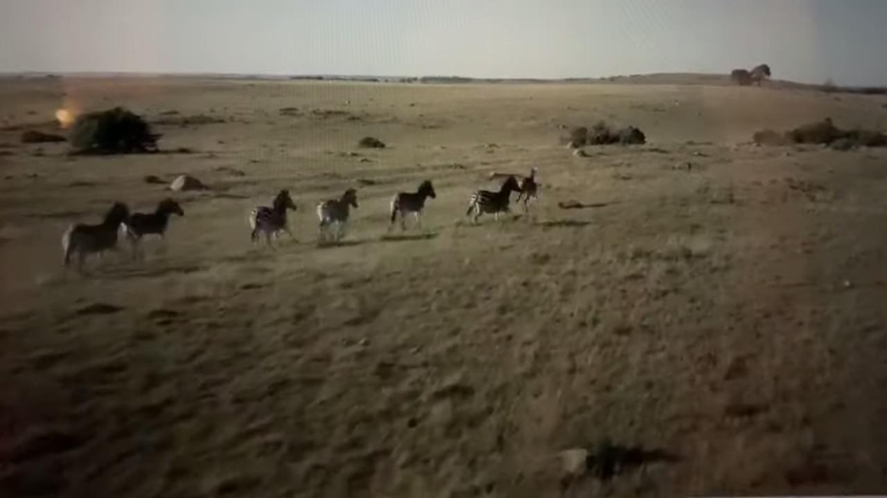 Cebras corren en fila
