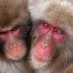 Pareja de primates