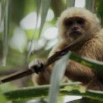 Capuchino de garganta blanca 1