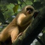 Capuchino de garganta blanca trepando árbol