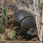 Escarabajo de estircol, alimentándose en la hierba