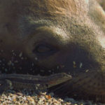 Lagarto de lava lamiendo insectos de los leones marinos