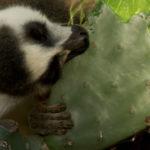 Lemur comiendo