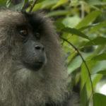 Macaco cola de león de perfil