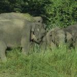 Manada de elefantes pigmeos