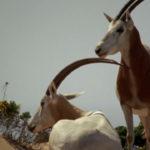 Oryx árabe