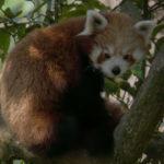Panda rojo en árbol