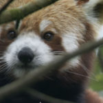 Panda rojo entre las ramas