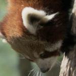 Panda rojo moviéndose por el tronco del árbol