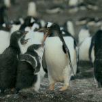 Pingüinos juantio pidiendo comida a sus padres