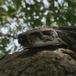 Pitón Birmana arrastréndose sobre árbol