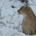 Puma de perfil