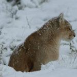 Puma vigilante