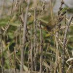 Ratón de cosecha en hierba