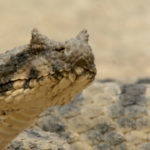 Close up de la víbora de cuernos persa