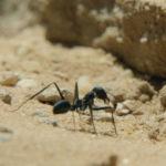 Hormiga del desierto junto a la entrada del nido