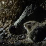 Lemming de estepa o topillo de estepa