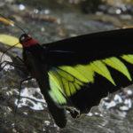 Mariposa Rajah Brooke's birdwing tomando agua