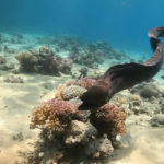 Morena gigante nadando sobre coral