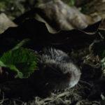 Musaraña pigmea