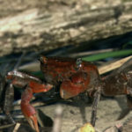 Pequeño cangrejo arrastrándose sobre ramitas