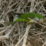 Periquito monje escondido en el nido de Jabiru