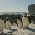 Pingüinos de penacho amarillo en la costa rocosa