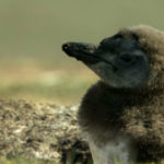 Polluelo de pingüino de Magallanes