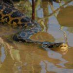 Anaconda amarilla ©Bill Markham