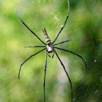 Araña Nephila ©Miguel Angel Jorquera