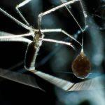 Araña huevos 1 ©Pablo Pez