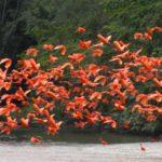 Bandada de ibis escarlata ©Bill Markham