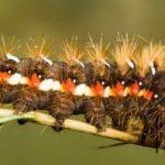 Caterpillar en ramita ©Steve Nicholls