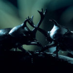 Escarabajo samurai ©Pablo Pez