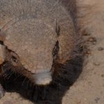 Gran armadillo peludo ©Hannah Hoare