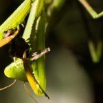 Mantis Hormiga ©Pablo Pez