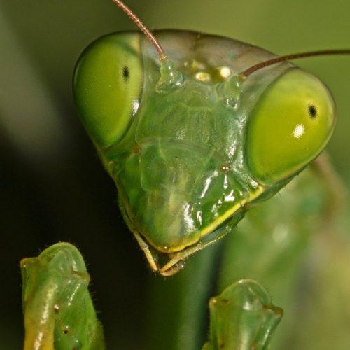 Mantis de cerca