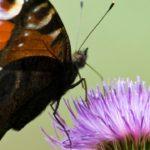 Mariposa pavo real ©Steve Nicholls