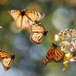 Mariposas monarca ©Steve Nicholls